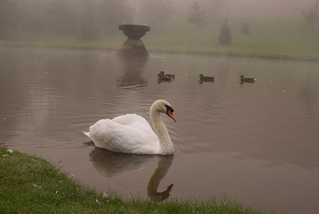 swans in sackville, new brunswick